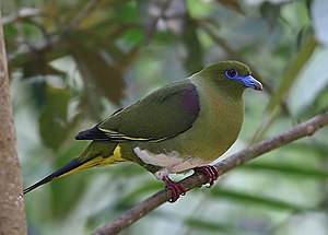 Yellow-Vented Green Pigeon.jpg