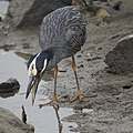 Yellow-crowned night Heron eating a crab (48274695936).jpg