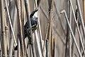 Yellow-rumped Warbler (Myrtle male) Anahuac NWR High Island TX 2018-04-17 10-21-39 (41048774365).jpg