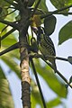 Yellow-spotted Barbet - Kakum - Ghana 14 S4E1896 (15576303644).jpg