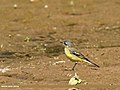 Yellow Wagtail (Motacilla flava) (24850568314).jpg