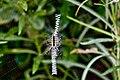 Yellow garden spider zig zag web.jpg