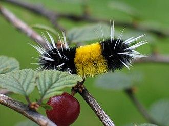 Lophocampa maculata - Image: Yellow woolly bear caterpillar