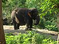Yercaud elephant.jpg