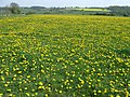Yet ANOTHER Field of Yellow^ Barnsley, Shropshire - geograph.org.uk - 409382.jpg
