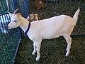 Young goat at Yorktown, NY Grange Fair, September, 2013.jpg