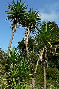 Yucca aloifolia 4