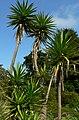 Yucca aloifolia 4.jpg