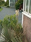 Yucca glauca Sinijukka VII08 H6193.jpg