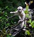 Yunnan Black Snub-nosed Monkey.jpg