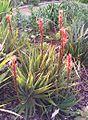 Z Aloe succotrina - Kirstenbosch gardens 6.jpg