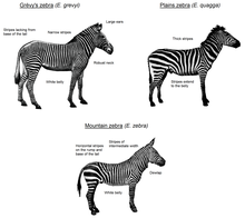 An illustration showing the three extant zebra species