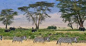 Environmental protection - Zebras at the Serengeti savana plains in Tanzania