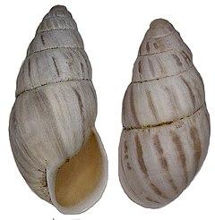 240px zebrina detrita (m%c3%bcller, 1774) (3373474546)