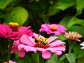 Zinnia from Lalbagh Flowershow - August 2012 4778.JPG