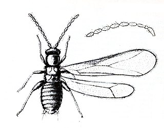 Zoraptera Order of insects