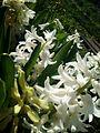 Zumbul bijeli -) - panoramio.jpg