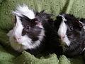 Zwei Hausmeerschweinchen.jpg