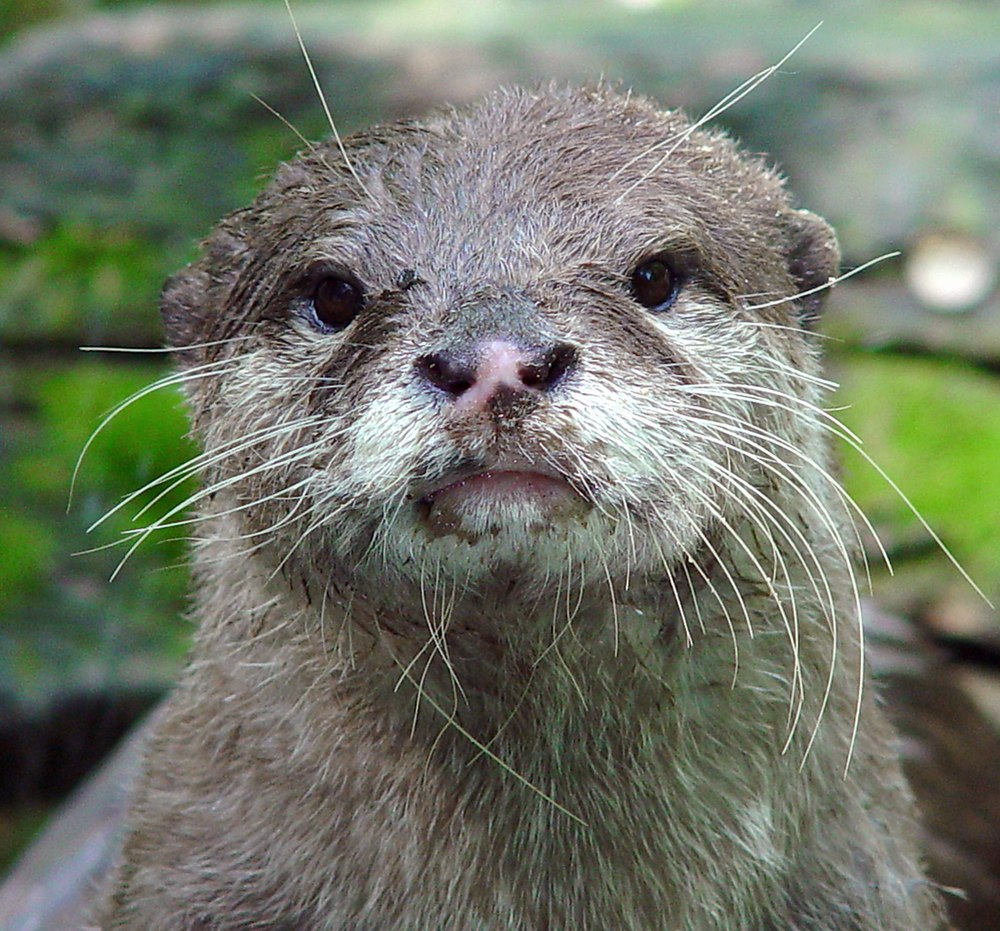 The average litter size of a Asian small-clawed otter is 1