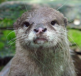 Asian small-clawed otter Species of mammal