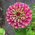 'Queen Red Lime' zinnia IMG 0818.jpg