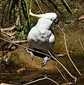 (1)Sulphur crested cockatoo-3.jpg