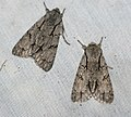 (2284) Grey Dagger (Acronicta psi) (4699117490).jpg