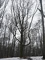 Íves faág - panoramio.jpg