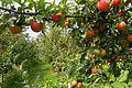 Μήλα - panoramio.jpg