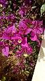Μπουκαμβίλια η λαμπρά - Bougainvillea spectabilis.jpg