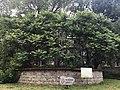 Белгородское уксусное дерево.jpg