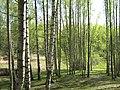 Березовый холм в Парголово - panoramio.jpg