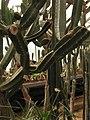 Ботанический сад РАН, оранжерея 16 (суккуленты и кактусы).jpg