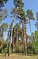 Високі сосни в Дробишевському лісництві.jpg