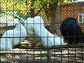 Голуби.Менський зоопарк.jpg