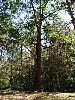 Дерево любви(Дуб и Сосна).jpg