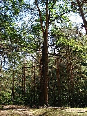 Tambovsky District, Tambov Oblast - Tree of Love, Tambovsky District