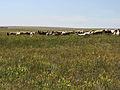 Донузлав 4 козы.jpg