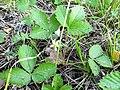 Земляника лесная (Fragaria vesca) f012.jpg