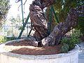 Мамврийский дуб - panoramio.jpg