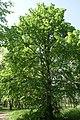 Невядомае дрэва ў Севастопальскім парку 25.JPG