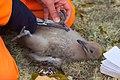 Орнитолог исследует птенца поморника IMG 4755.JPG