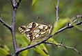 Перламутровка блестящая - Issoria lathonia - Queen of Spain Fritillary - Седефка - Kleiner Perlmutterfalter (22030672498).jpg
