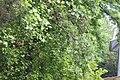 Тюльпанове дерево у ботанічному саду.JPG