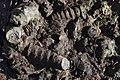 Фосили од морски полжави на семејството Nerinea.JPG