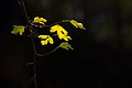 برگ زرد-پاییز-yellow leaves-falling leaves 29.jpg