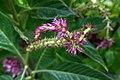 گل تاج خروس-Unidentified Amaranthus in iran 12.jpg