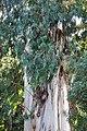 ევკალიპტი ტირიფფოთოლა Eucalyptus viminalis Blaugummibaum.JPG