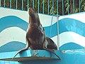 オホーツク水族館 (北海道網走市二ツ岩海岸)9 トド.jpg