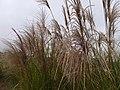五節芒 Miscanthus floridulus - panoramio.jpg